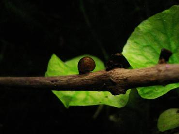 A few snails may not harm your tank but an infestation can become detrimental.