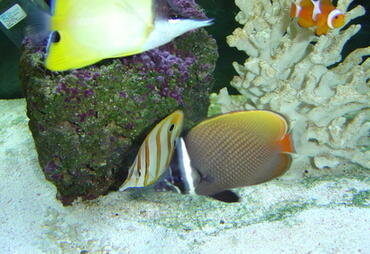 Tank-Raised Fish for Saltwater Aquariums