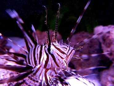 News: Lionfish Invasion in the Atlantic