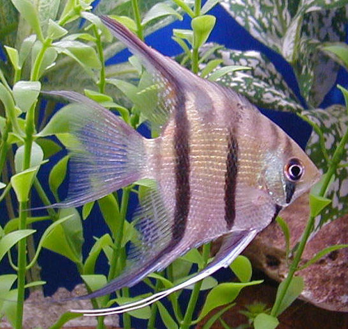Everything You Need to Know About Freshwater Angelfish ...