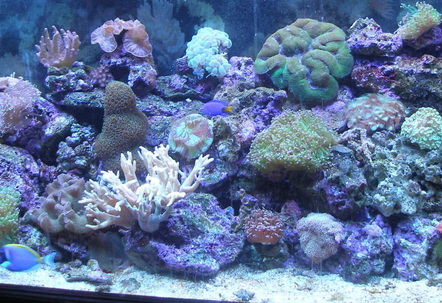 90 gal Reef Tank wPowder Blue Tang Yellow Tail DamselCoral Beauty BlueGreen ChromisLPS Leathers Soft Corals  Mushrooms