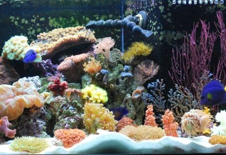 Javier who has created this site has it rigged so you cant even vote on our pictures Ryan  The Shepherds Reef Killer who built our tank has a tank posted which is NOT even his  we are done playing your third grade games We are going to solicite the advertisers and make our own web site and do what we want on it so dont worry well be back ad  1 again just like we were meant to be!!!!!!!!!!!!!!!!!!!!!!!!!!!!!!!!!!!!!Left side of tank 0808 Established only 3 months now  Check out our full tank pictures as wellIMAGINATION AND DETERMINATION ARE THE KEY FACTORS FOR US Every kind of fish you can think of that everyone says you cant keep together we have in the tank  Our Tank was custom built by Ryan  Thanks!!!  WE PURCHASED EVERYTHING IN OUR TANK FROM JEFFS EXOTIC FISH IN COSTA MESA 714 5400880 THEY ARE VERY KNOWLEDGABLE AND CAN GET YOU STARTED EVEN IF YOU JUST WANT A LITTLE NANO TANK THANKS GUYS!!!!