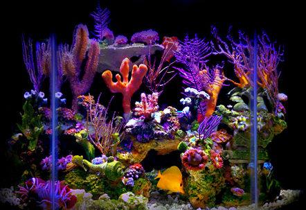 My 23 gallon flat back hexagonal reef tank