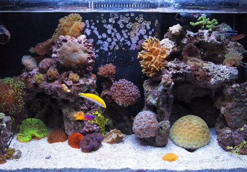 FTS7 small nano fish pistol shrimp cleaner shrimp 3 maximini anemones couple clams many corals