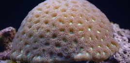 Favia Brain Coral in 125 reef