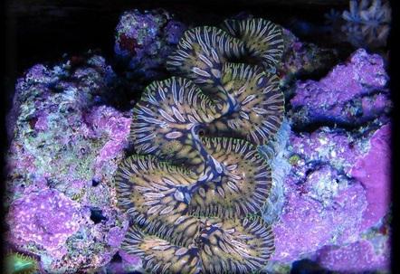 teardrop maxima clam