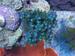 Acropora Tortuosa Blue Tortuosa