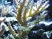 Acropora Tenuis Fireside Acropora Coral
