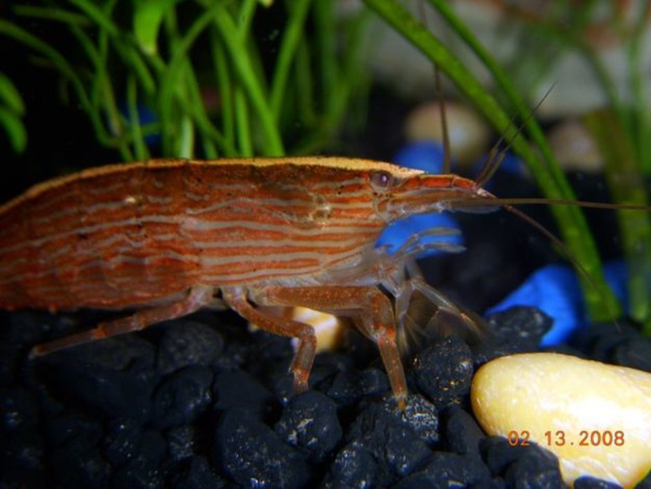 Bamboo Shrimp (atyopsis moluccensis) Photo Picture ID 15552