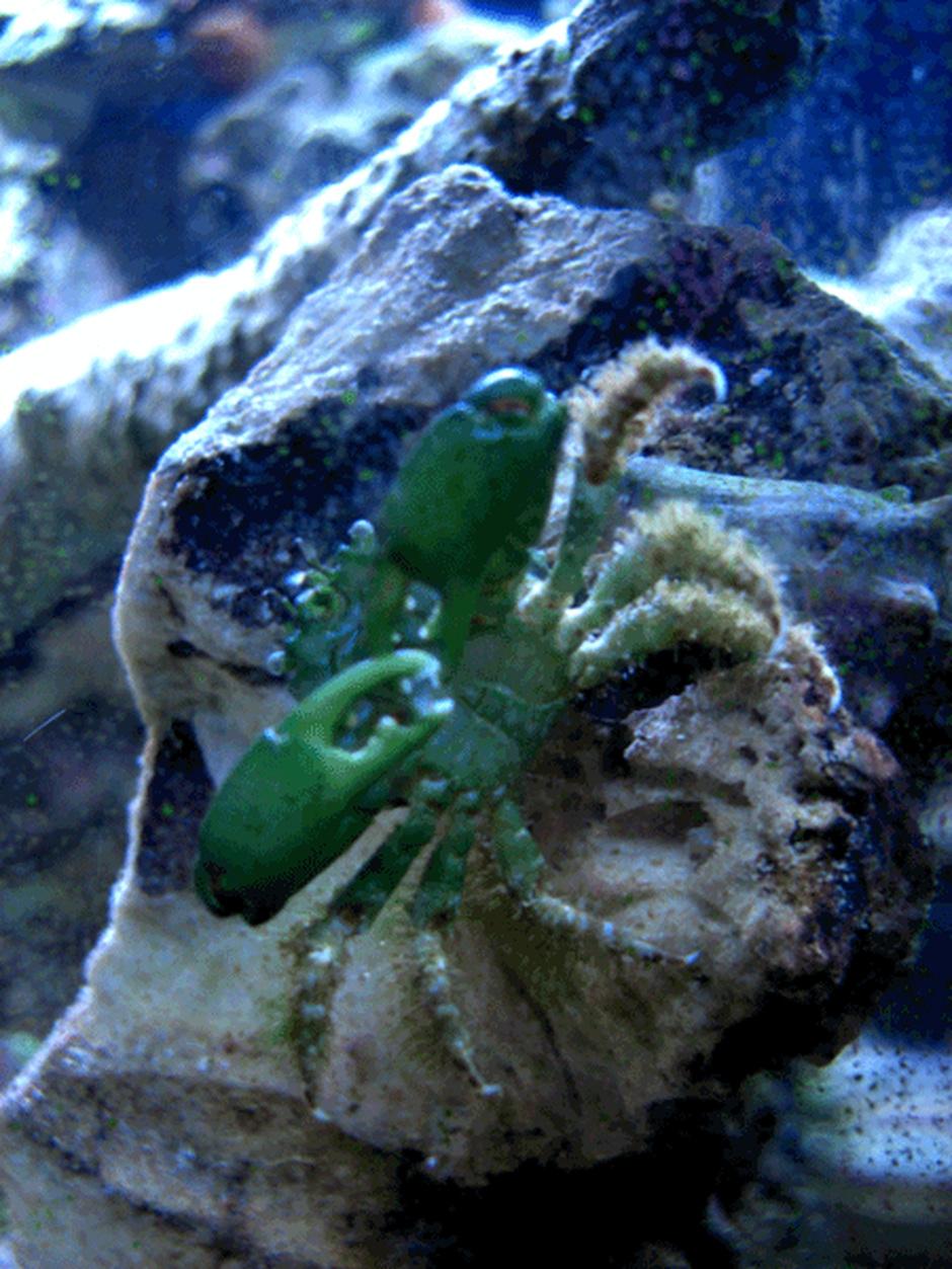 Emerald Crab (Mithrax Sculptus) Photo Picture ID 9201