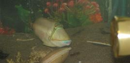 this is my humu humu piccaso fish