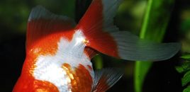 3 RedWhite Ryukin GoldfishKept in a 100 gallon tank with other goldfish