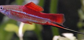 3 Neon Swordtail