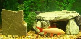 Albino Rainbow Shark in my 12 gallon Eclipse