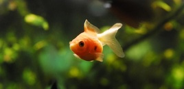 1 Pearlscale Goldfish