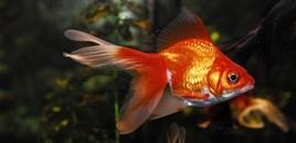 4 Orange Goldfish