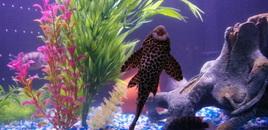 marble sailfin plecos belly