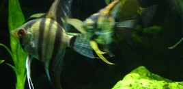 Ambushinprogress! Two angelfish Pterophyllum scalare one of which is obviously gunning for Alpha