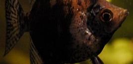 2 LeopardAngelfish