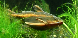Striped Raphael Catfish 102507