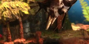 New marble angel fish