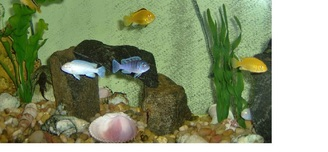 8 of 12 African Cichlids and one pleco
