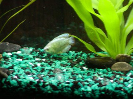 UDA!!  My Gourami fish