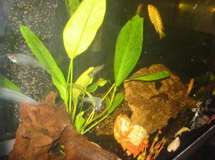 Ghost glass catfish