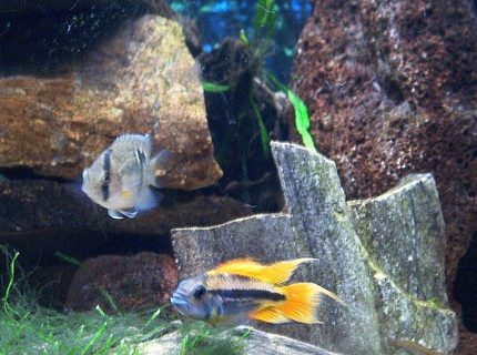 Orange Flash and Keyhole Cichlids