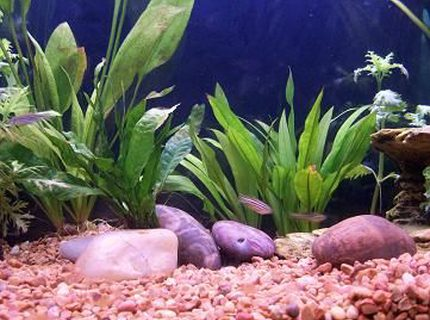 pic of amazon swords and zebra danios