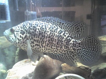 Jaguar cichlid parachromis managuensis photos for How to clean a fish tank without killing the fish