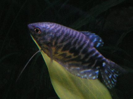 Opaline Gourami Week 1 added two