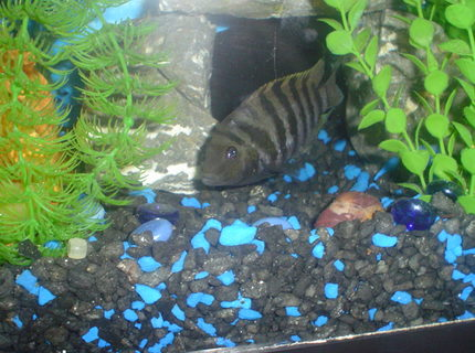 55 GALTha home of my fishes8 PACU 7 OSCAR 3 12  GREEN TERROR 3 CONVICT AND 1 JACK DEMPSEY