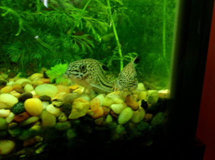 some of my favorites leopard cories