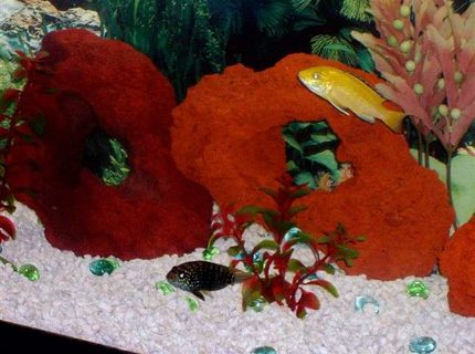 Here are my two pride and joys my Jack Dempsey and My Electric Yellow and yes they are somewhat happy together D