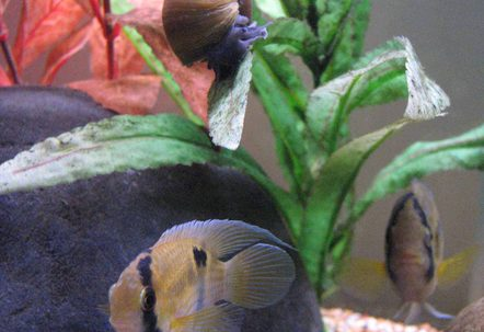 Keyhole Cichlid PairSnail