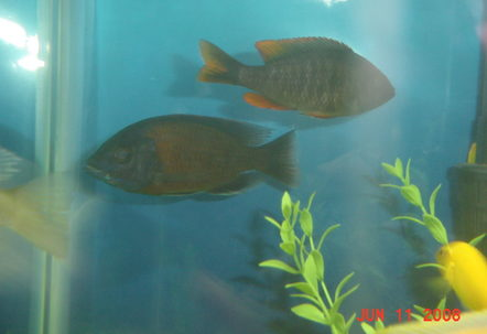 Yellow Fin Boryalei  Male and Female
