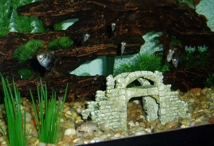 Meet the Black Skirt Tetras all 6 of them staring at you 1 of the Panda Corydoras in the gravel And if you look closely theres a Cardinal Tetra in the driftwood cave above the Panda