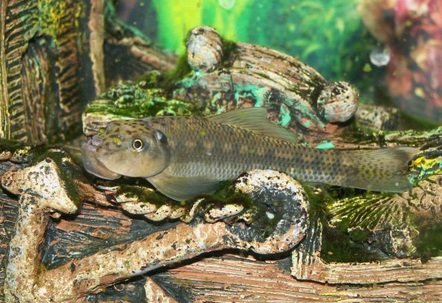 Chinese Algea Eater