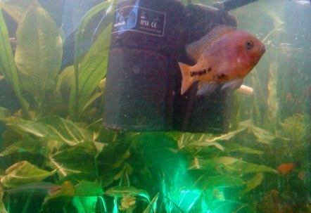 Young Redheaded Cichlid