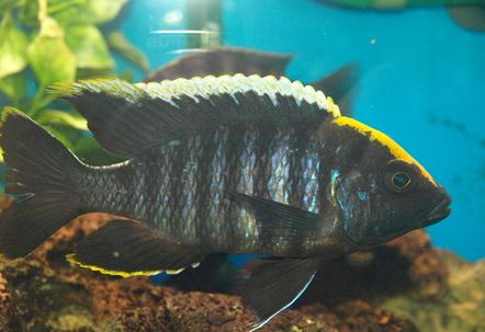Sulphur head peacock