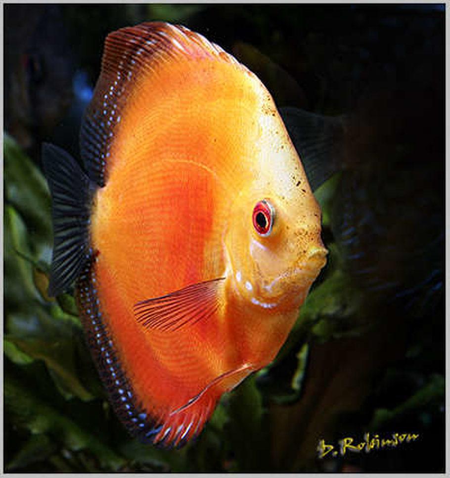 Freshwater juvenile fish - Juvenile Tangerine Dream Discus