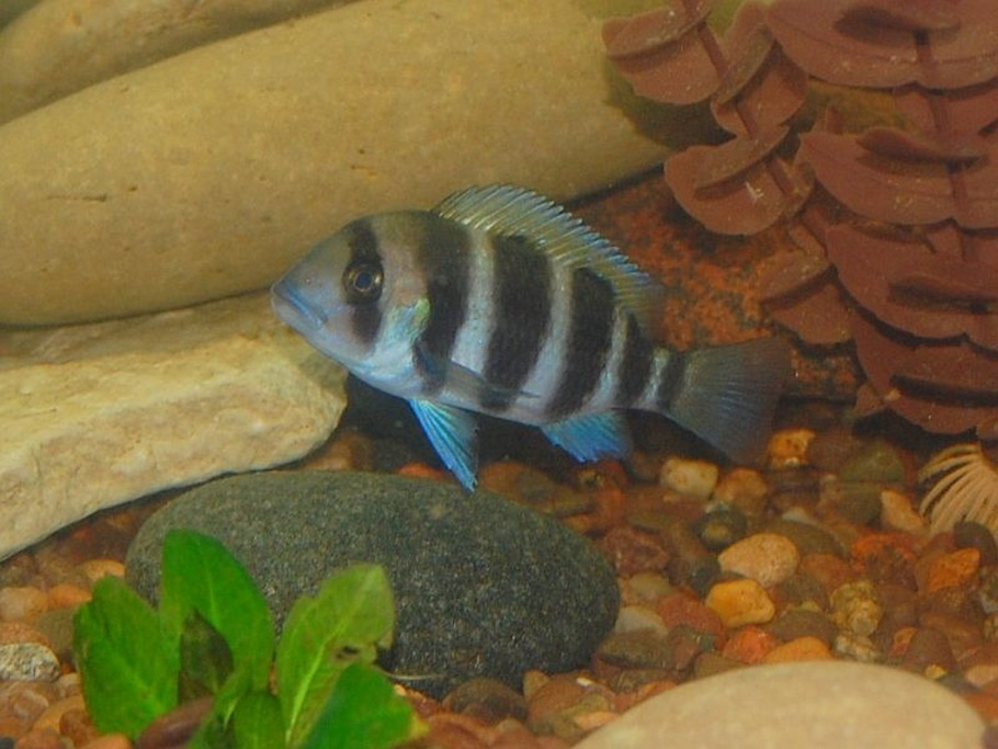 Baby Frontosa Cichlid baby frontosa