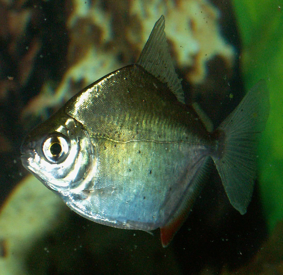 Dalephilby 39 s freshwater fish photo id 16211 full for Silver dollar fish tankmates