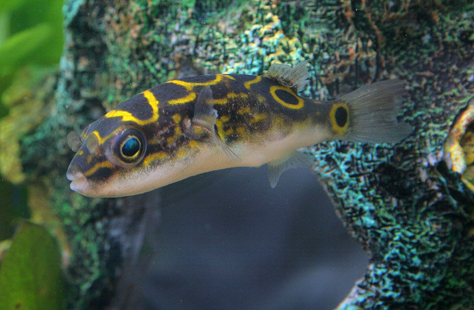 Care guide for keeping brackish and freshwater puffers for Types of puffer fish