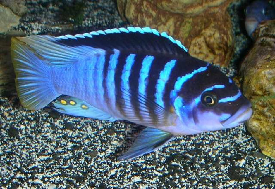Zebra Chilumba Metriaclima Sp Photos Ratemyfishtankcom