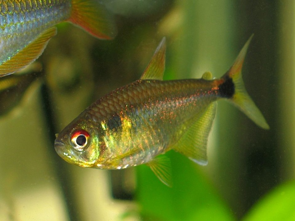 Head and Tail Light Tetra (Hemigrammus Ocellifer) Photo Picture ID ...