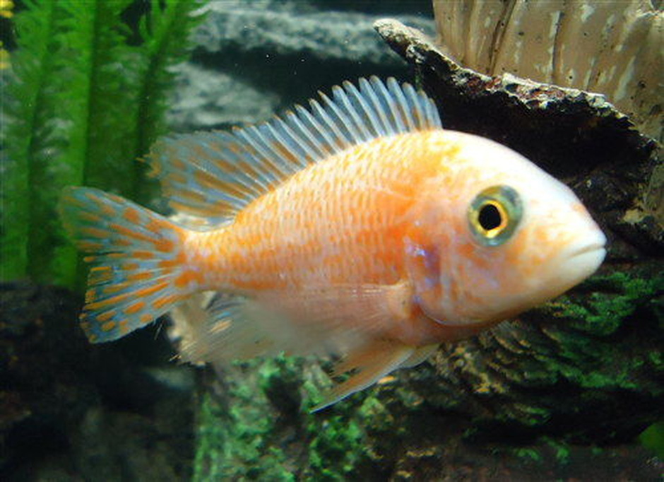 "Strawberry Peacock Cichlid (Aulonocara Sp. ""Strawberry ..."