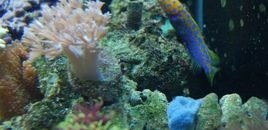 Big mouth spotted jawfish We call Blue