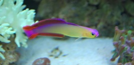 Purple fire fish